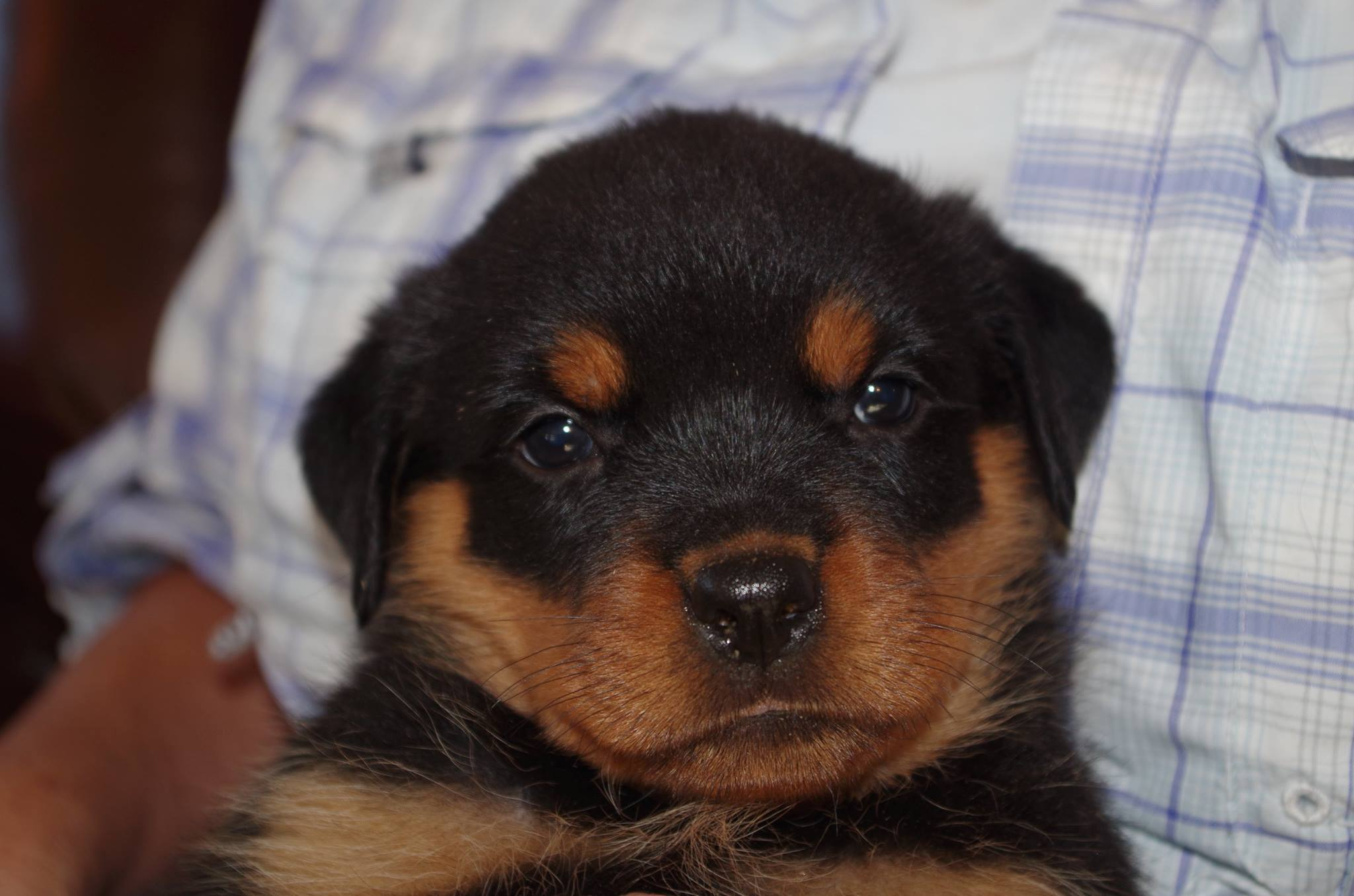 Ostenberg Rottweilers_Kenzo_x_Atena(121)