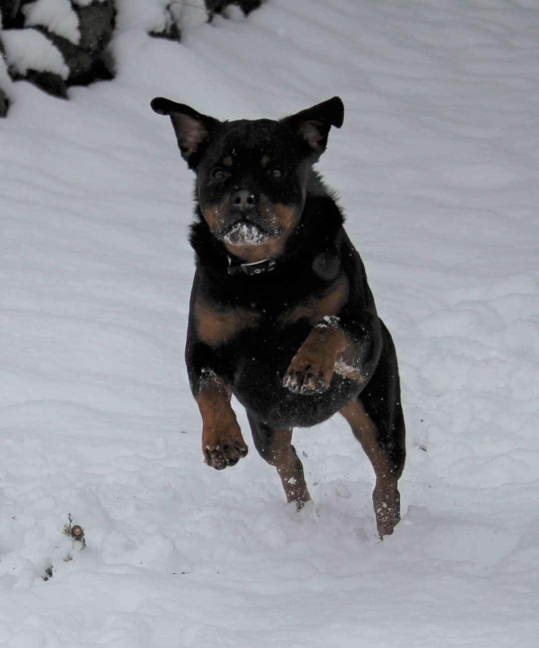 Ostenberg Rottweilers_Kenzo_x_Atena(202)