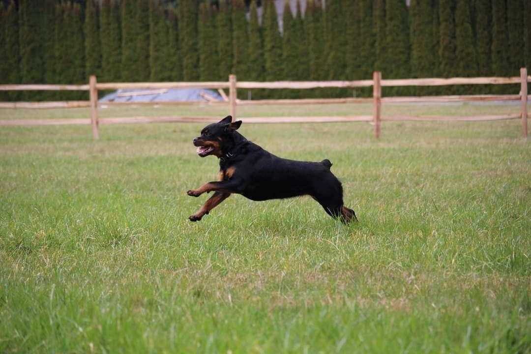 Ostenberg Rottweilers_Kenzo_x_Atena(203)