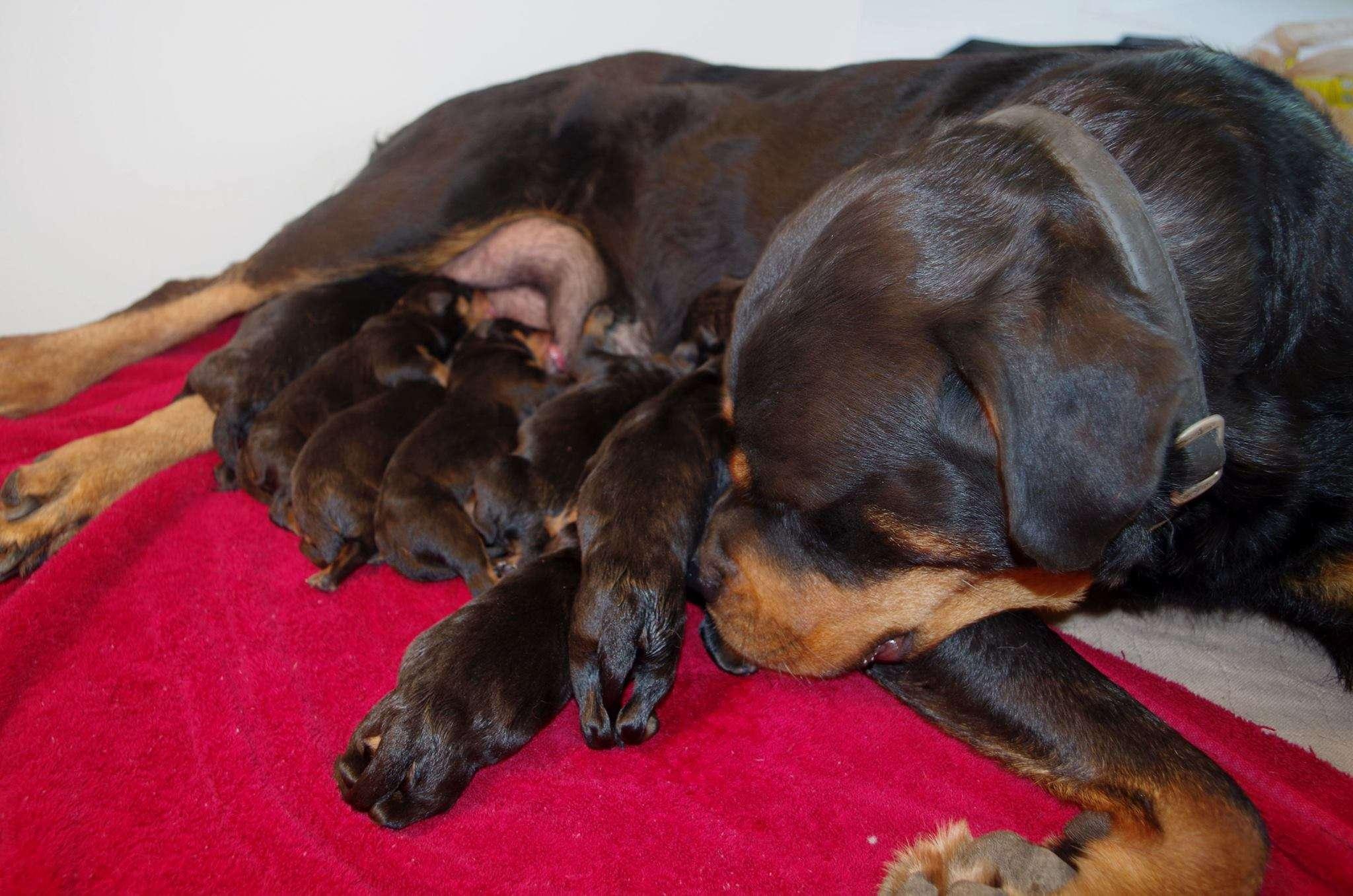 Ostenberg Rottweilers_Kenzo_x_Atena(3)