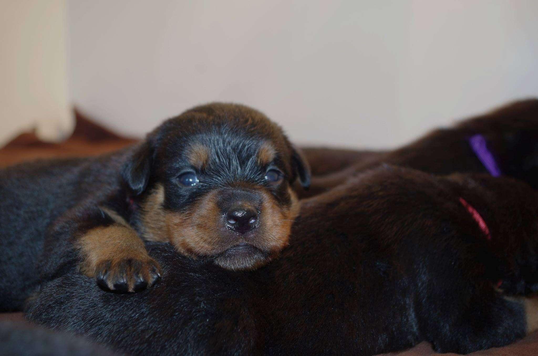 Ostenberg Rottweilers_Kenzo_x_Atena(64)