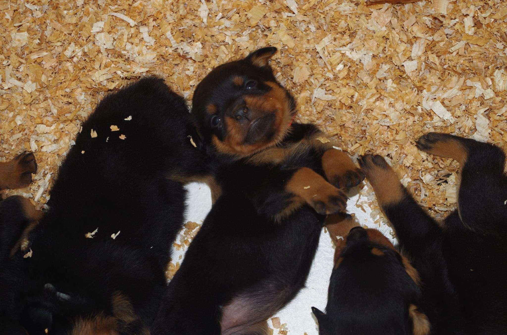 Ostenberg Rottweilers_Kenzo_x_Atena(72)