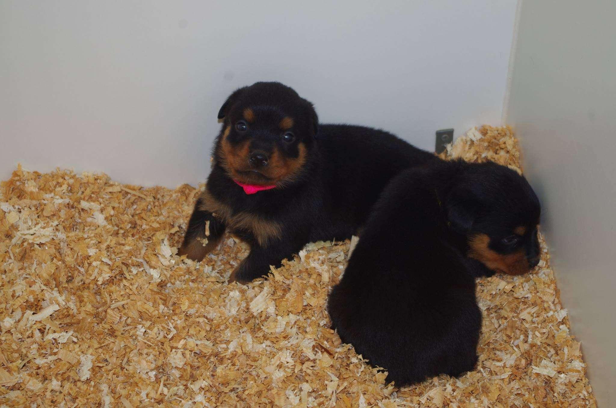 Ostenberg Rottweilers_Kenzo_x_Atena(75)