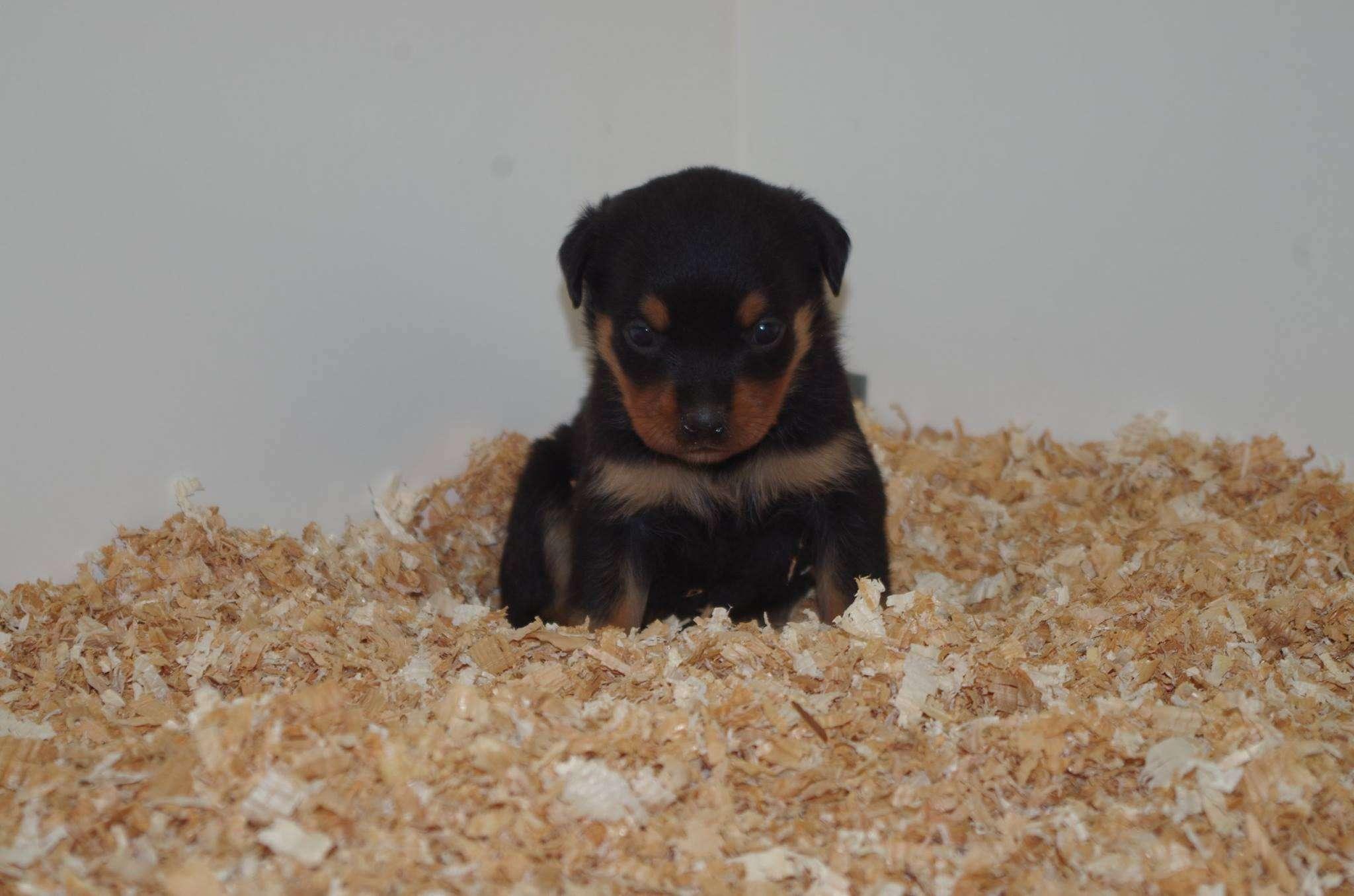 Ostenberg Rottweilers_Kenzo_x_Atena(80)