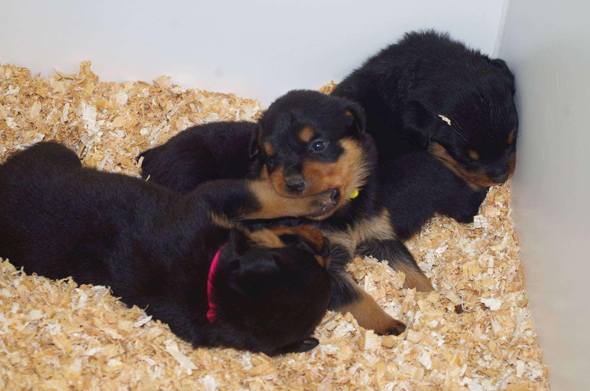 Ostenberg Rottweilers_Kenzo_x_Atena(81)