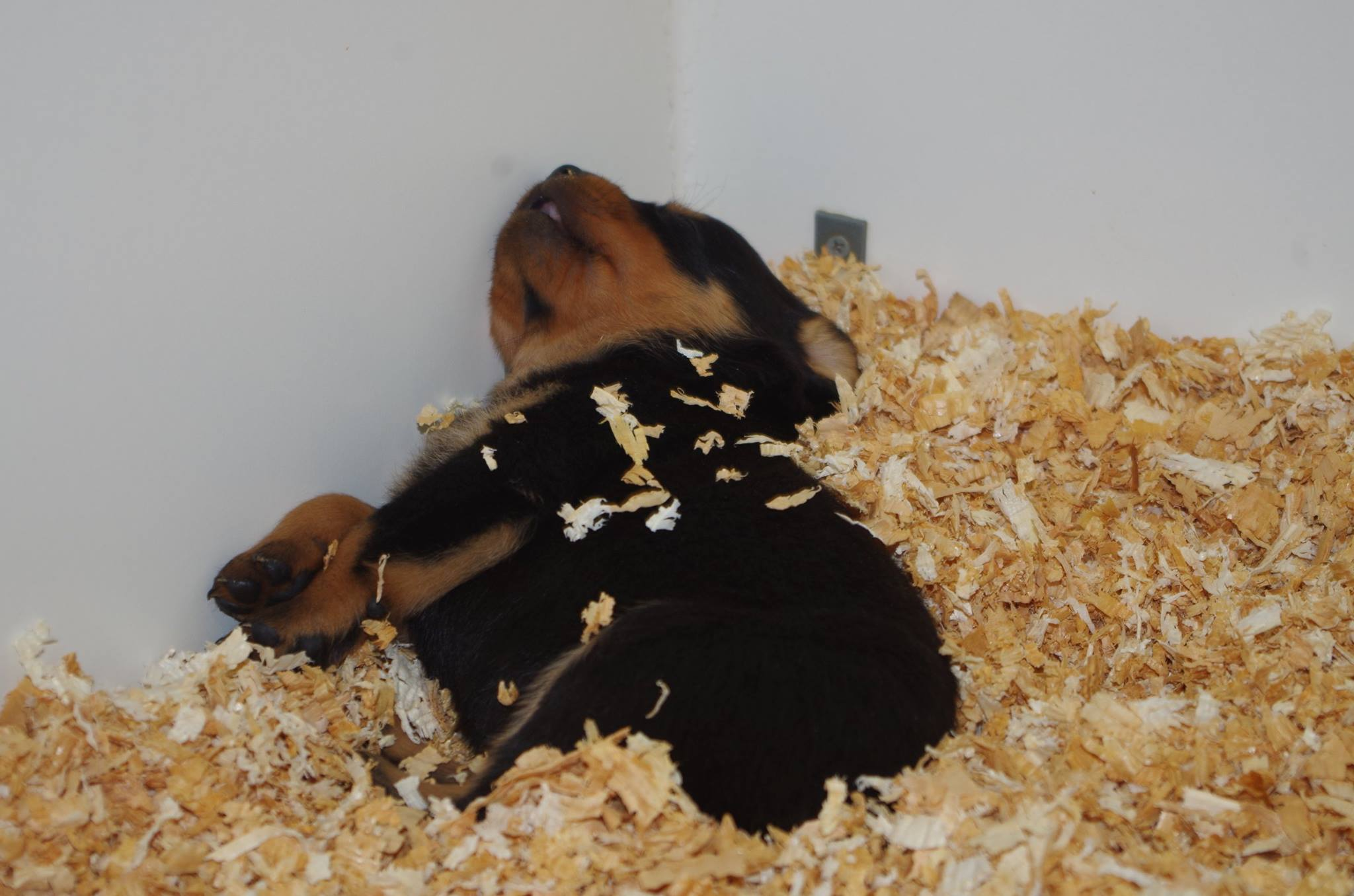 Ostenberg Rottweilers_Kenzo_x_Atena(85)