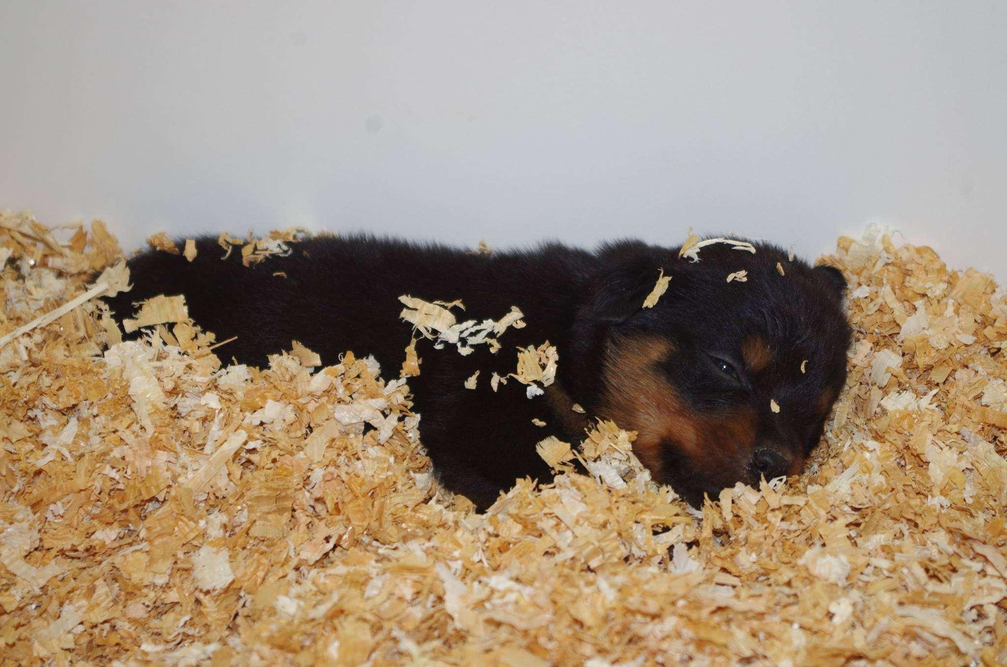 Ostenberg Rottweilers_Kenzo_x_Atena(89)