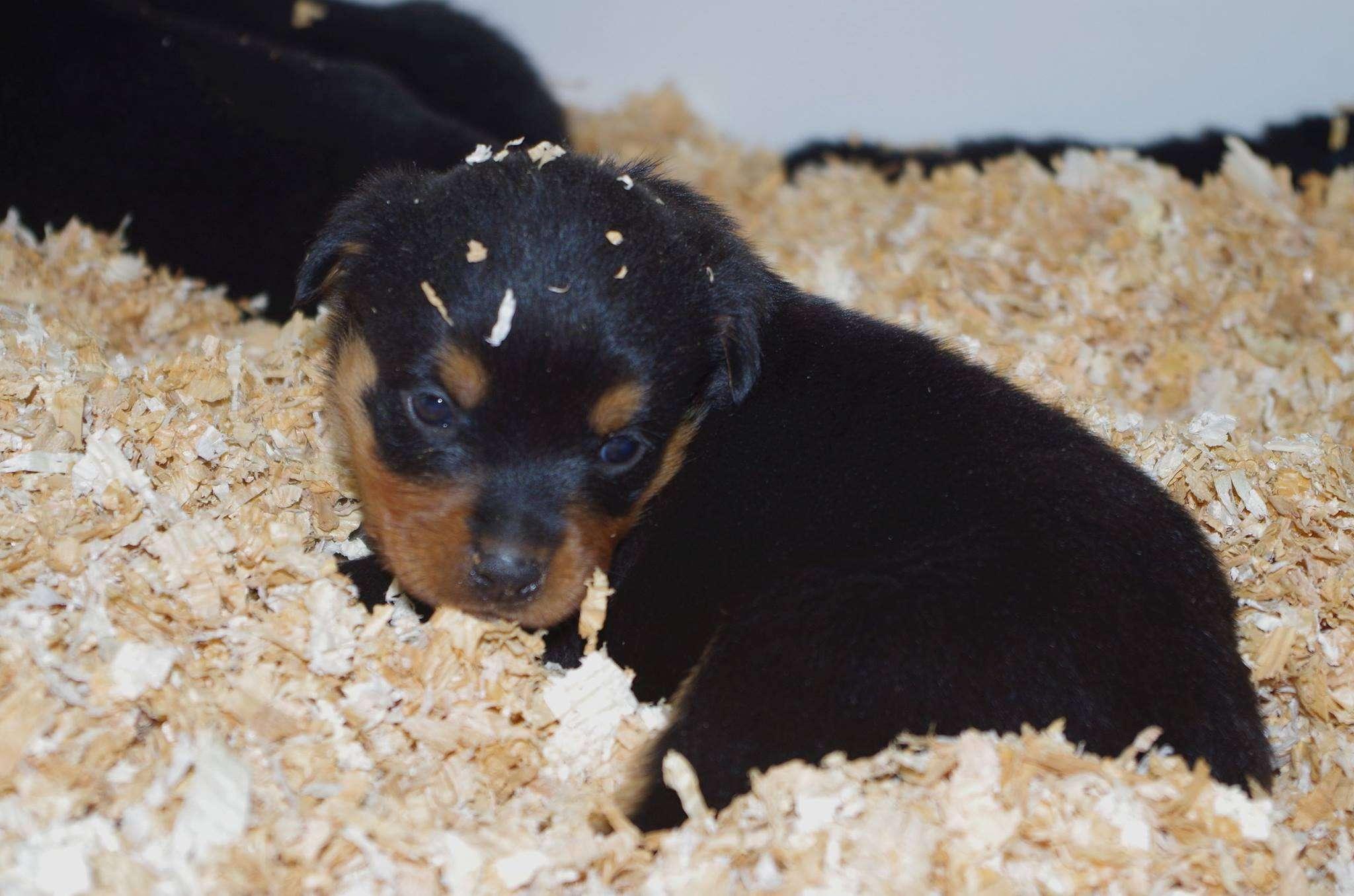 Ostenberg Rottweilers_Kenzo_x_Atena(91)