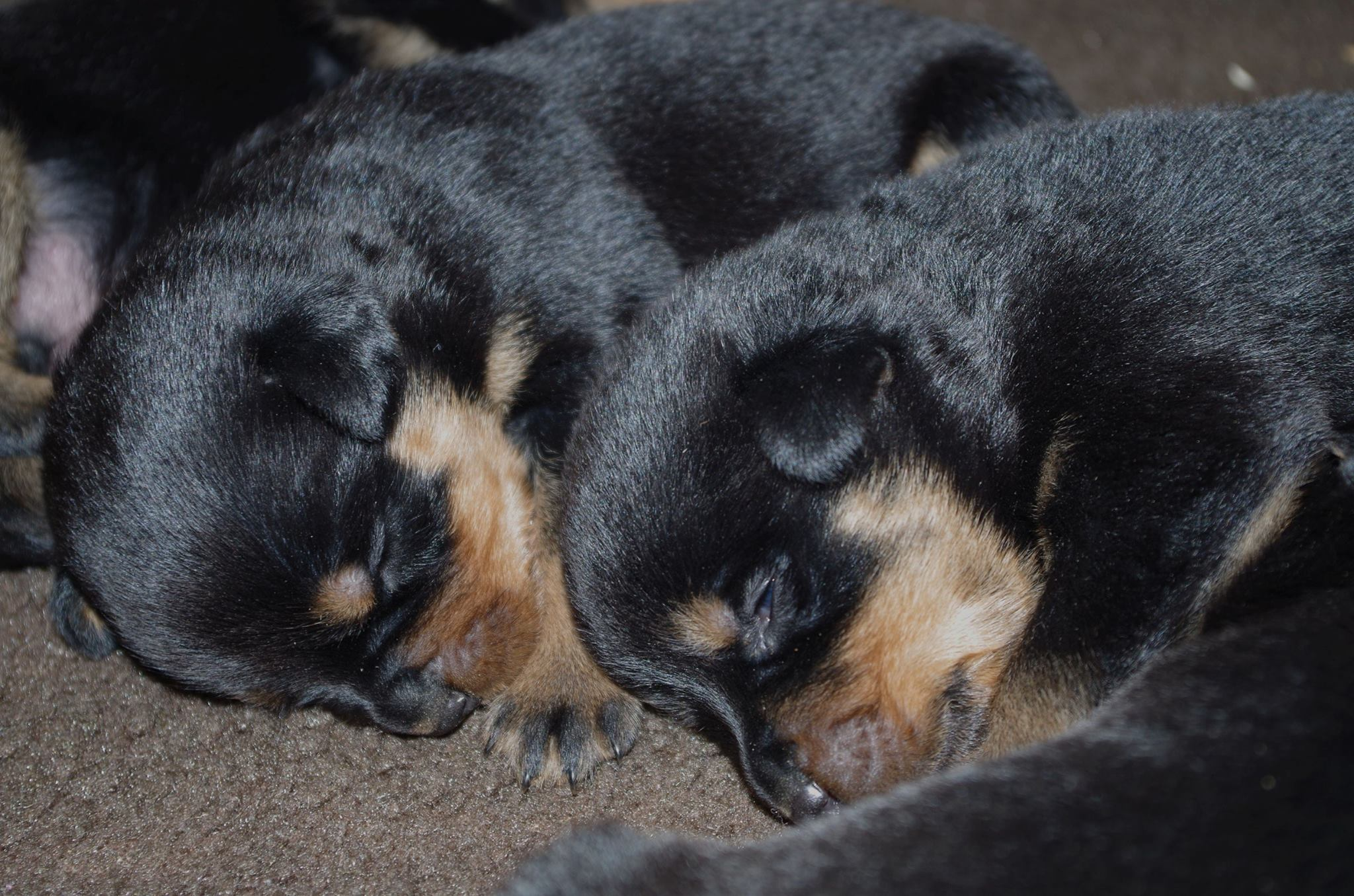 Ostenberg Rottweilers_Magic_x_Asisa(18)