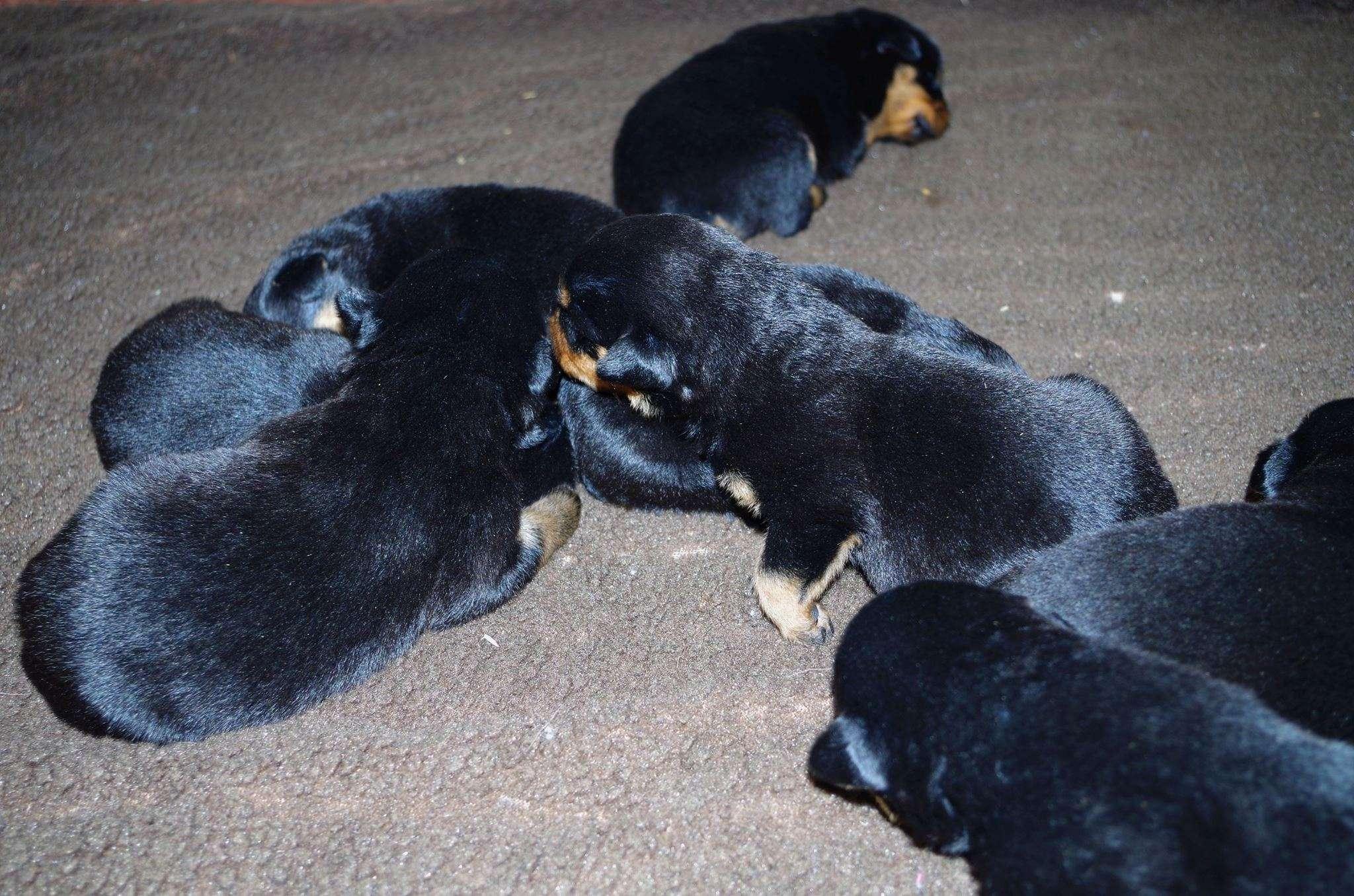 Ostenberg Rottweilers_Magic_x_Asisa(19)