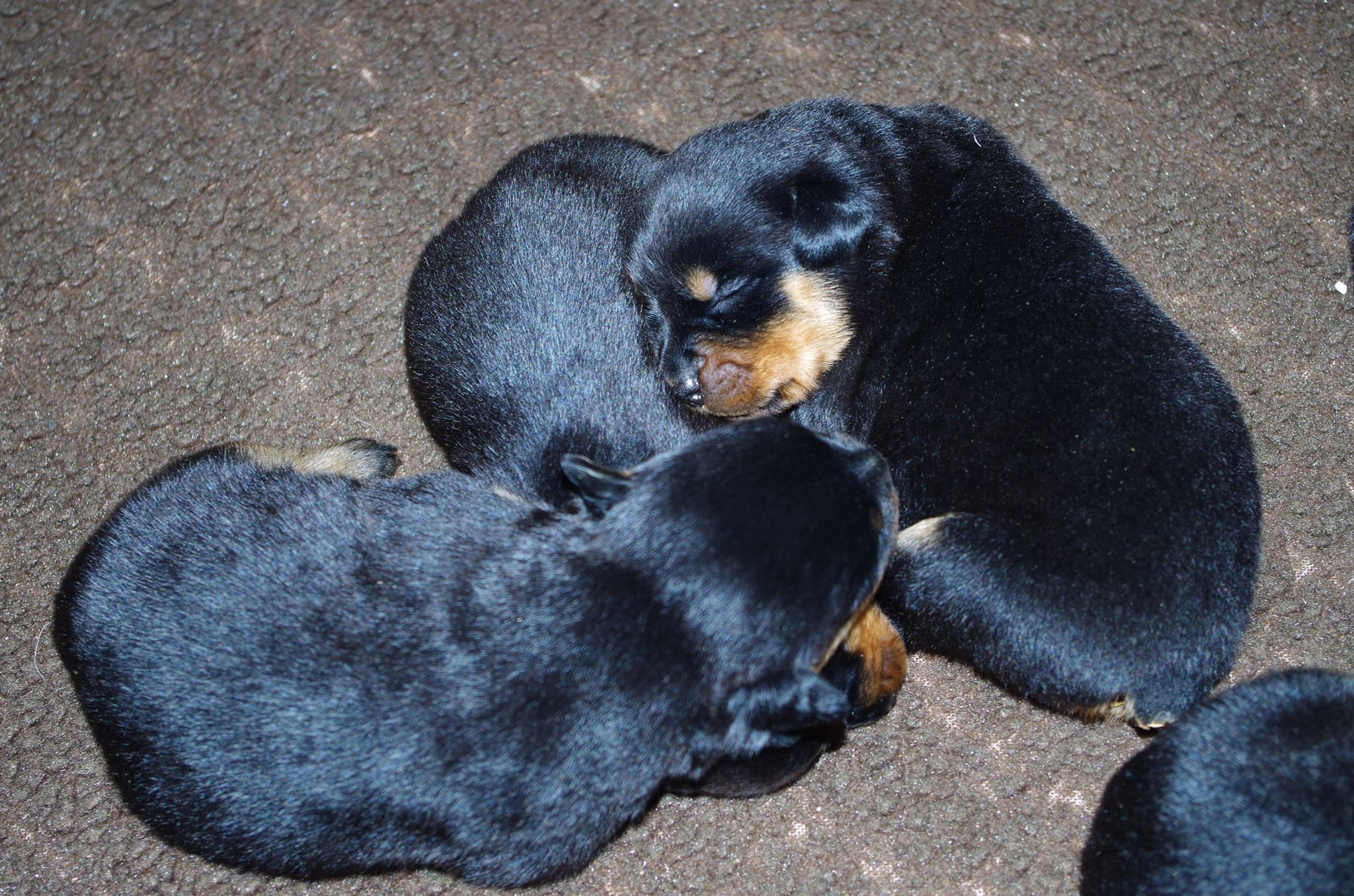 Ostenberg Rottweilers_Magic_x_Asisa(23)