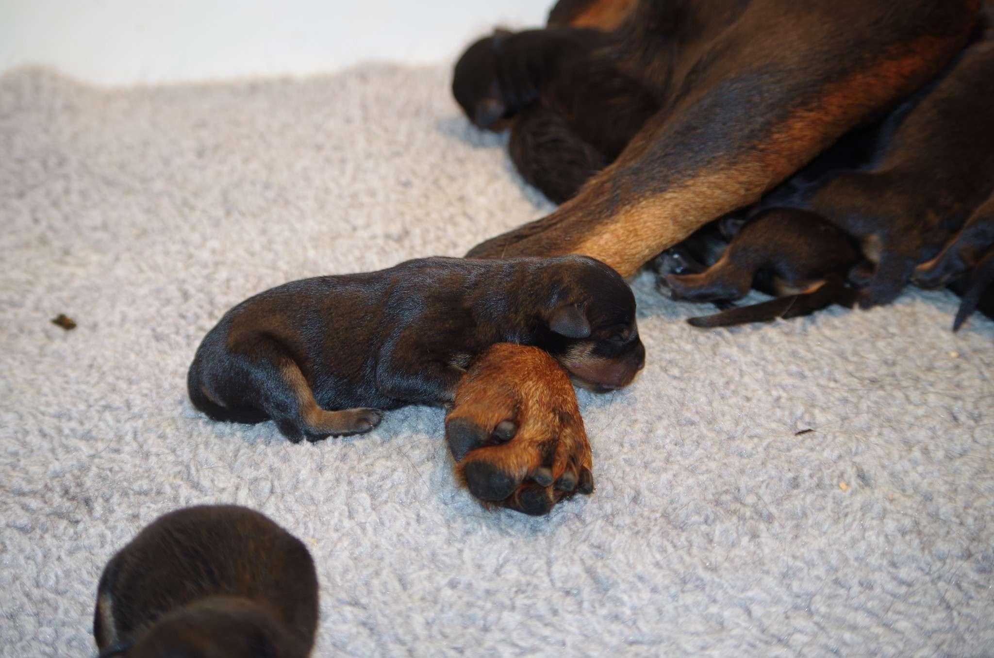 Ostenberg Rottweilers_Magic_x_Asisa(3)