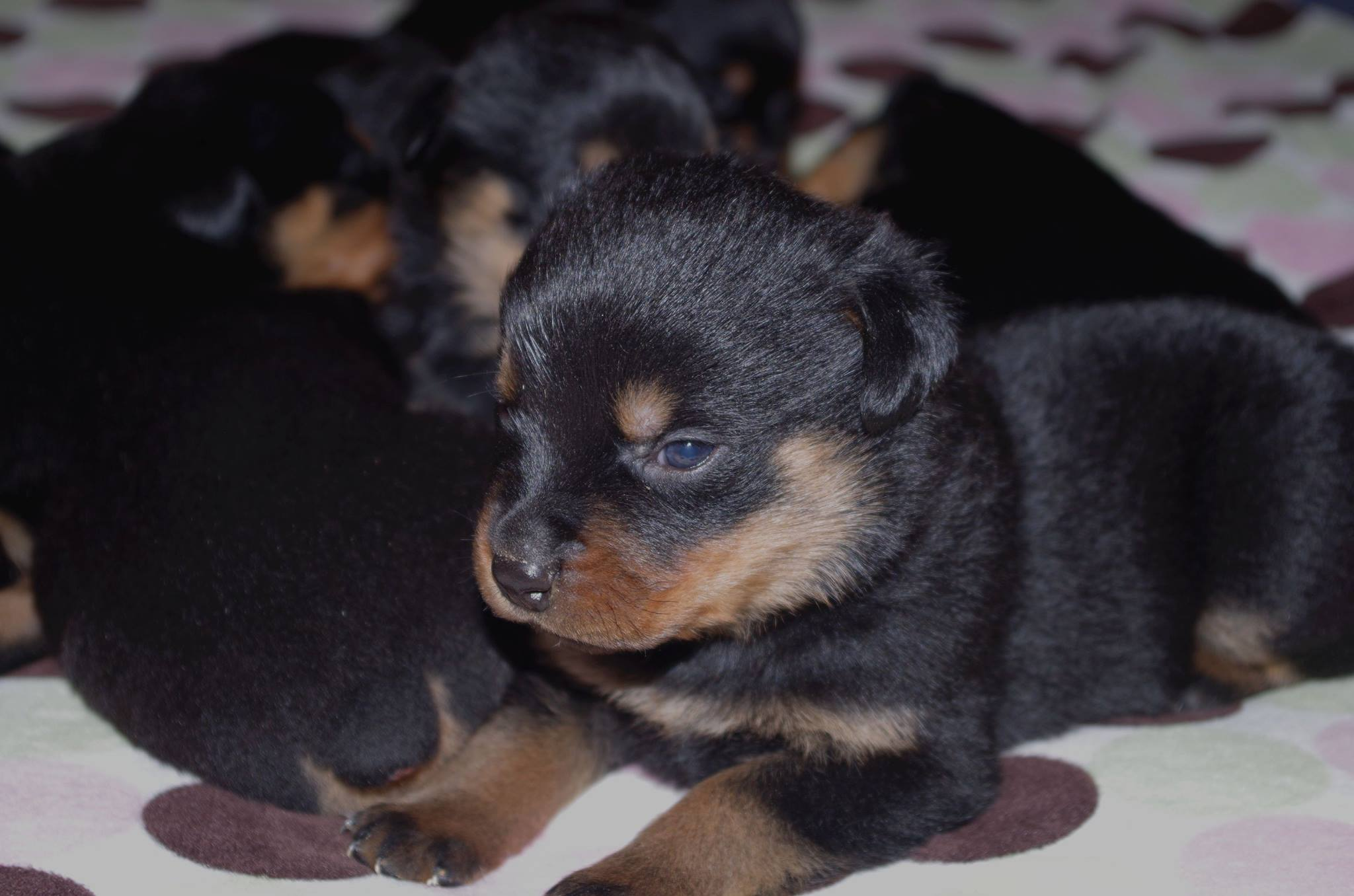 Ostenberg Rottweilers_Magic_x_Asisa(30)