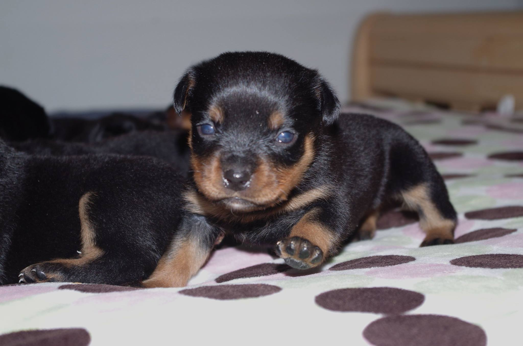 Ostenberg Rottweilers_Magic_x_Asisa(32)
