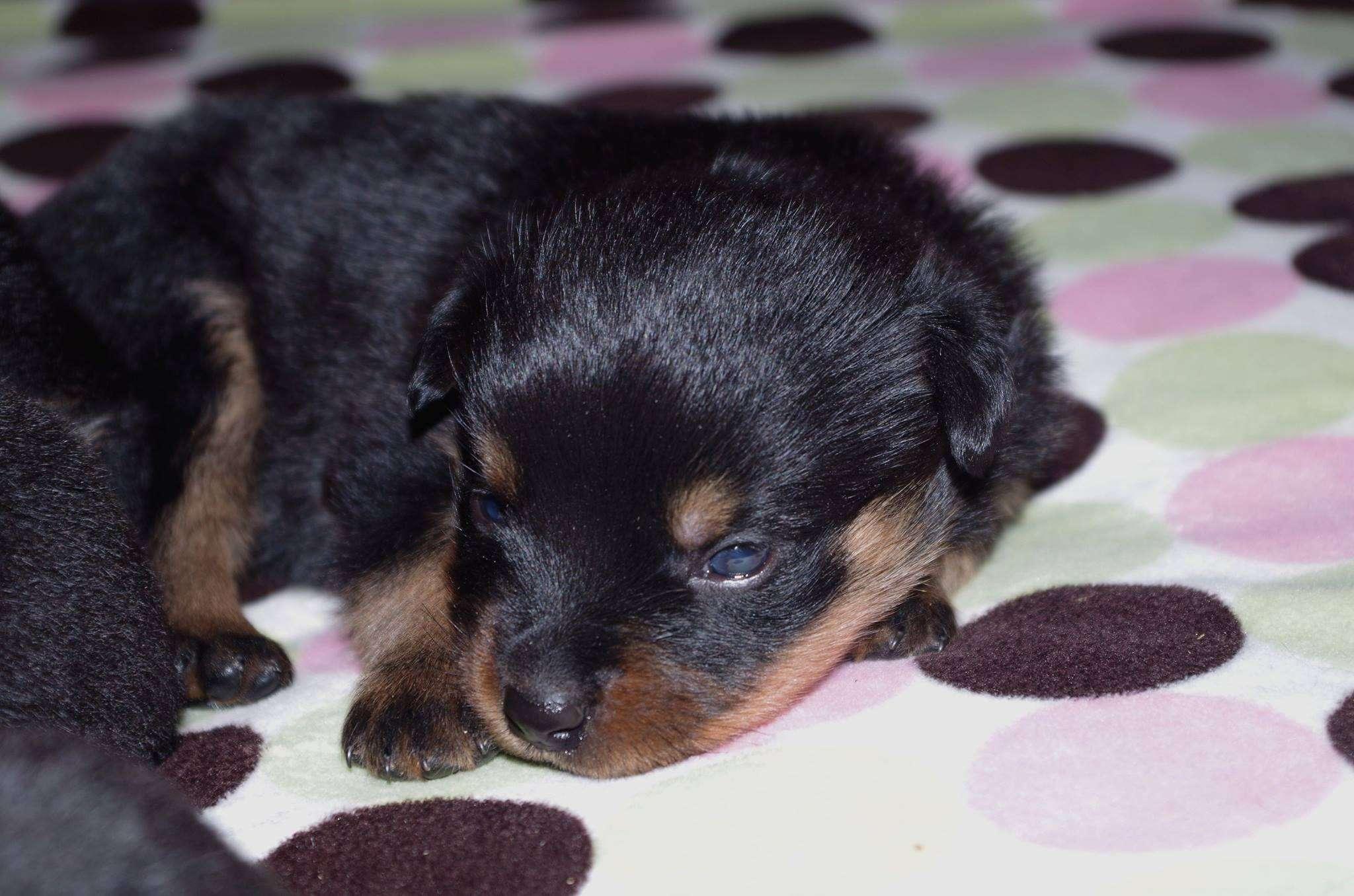 Ostenberg Rottweilers_Magic_x_Asisa(37)