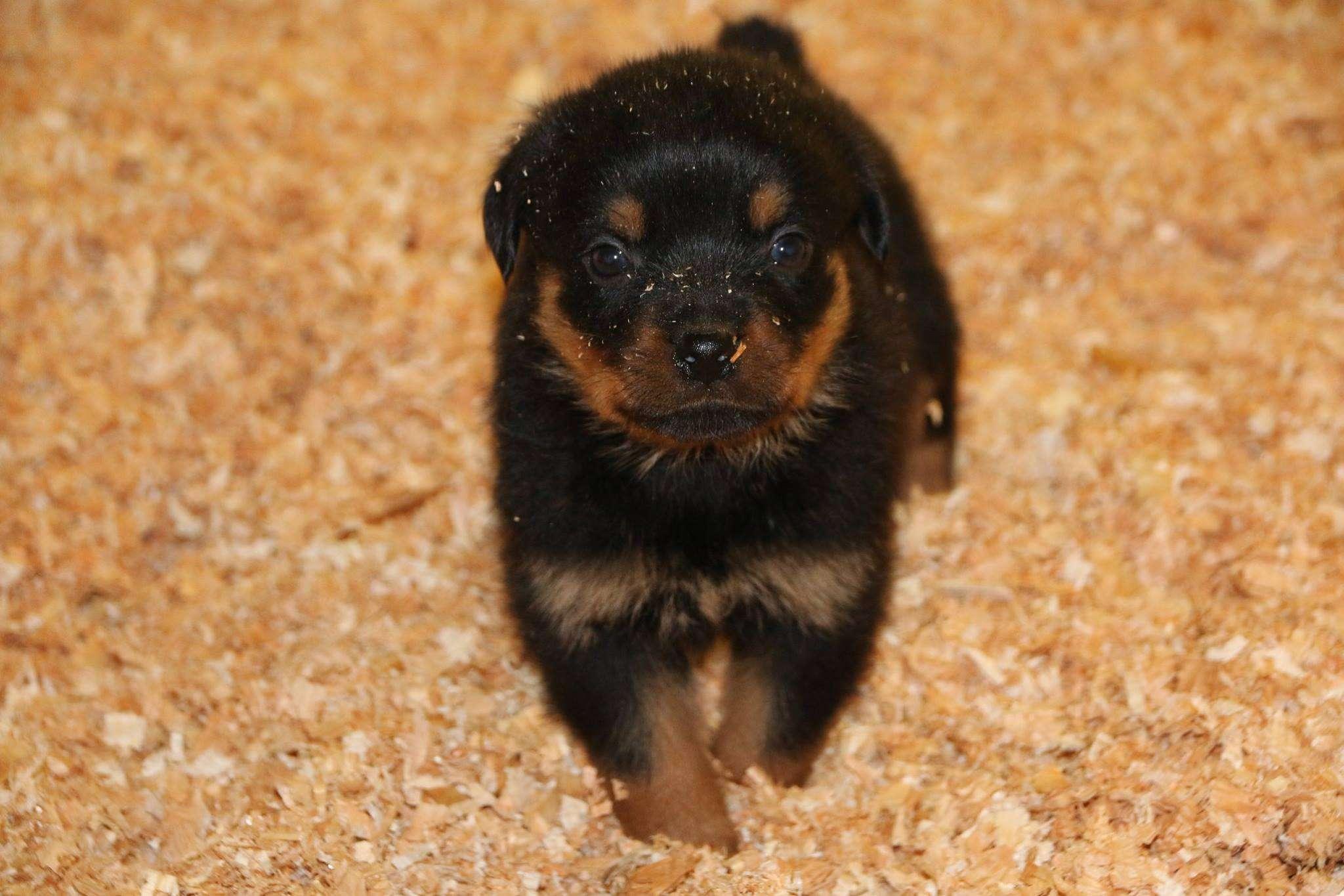 Ostenberg Rottweilers_Magic_x_Asisa(69)