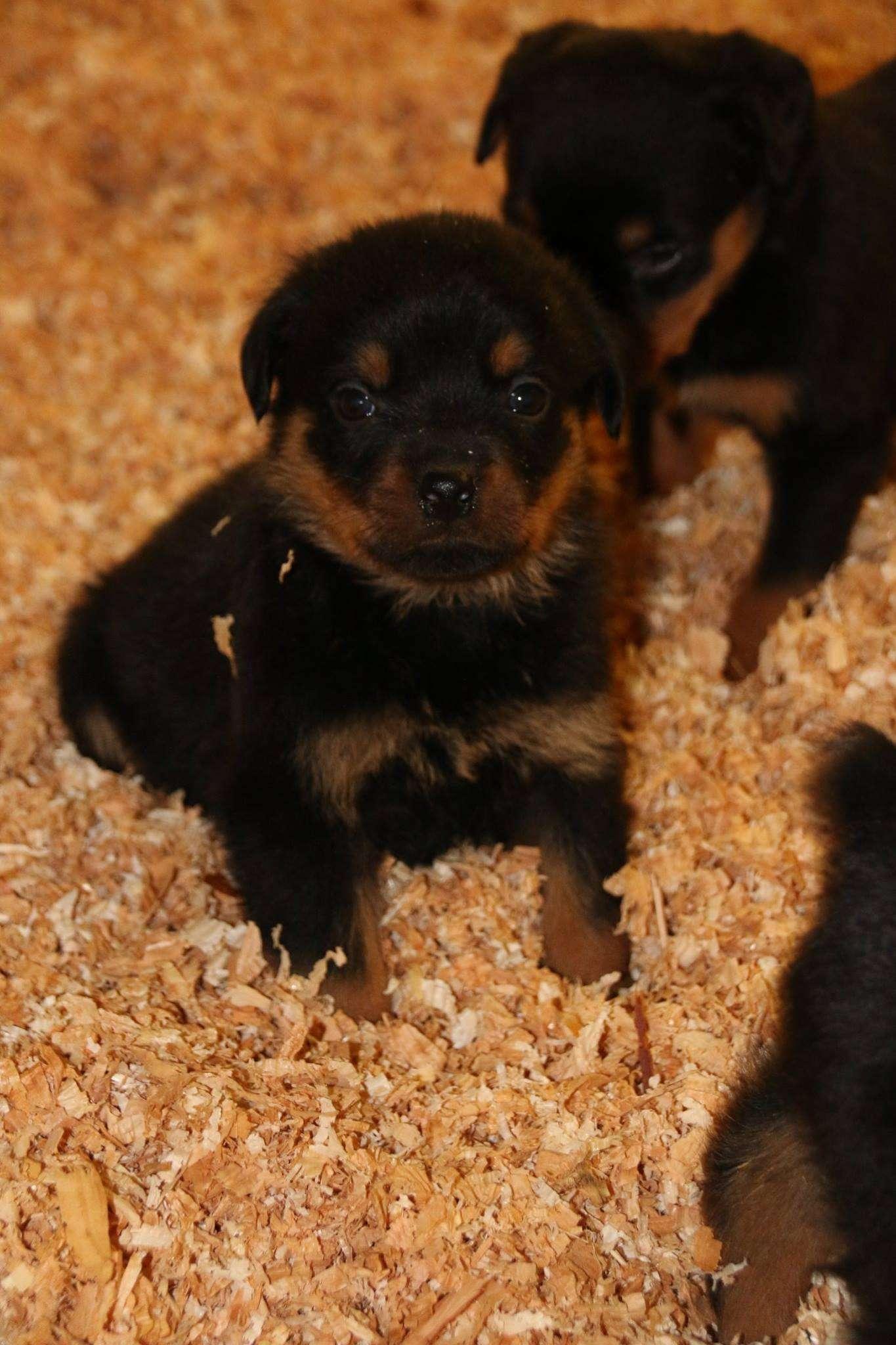 Ostenberg Rottweilers_Magic_x_Asisa(71)