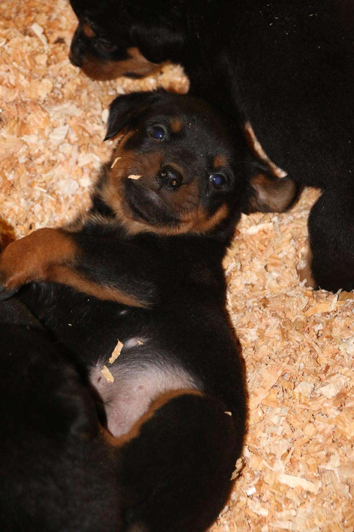 Ostenberg Rottweilers_Magic_x_Asisa(72)
