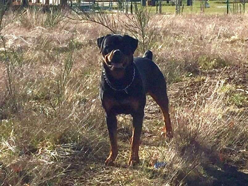 Ostenberg Rottweilers_Magic_x_Asisa(91)