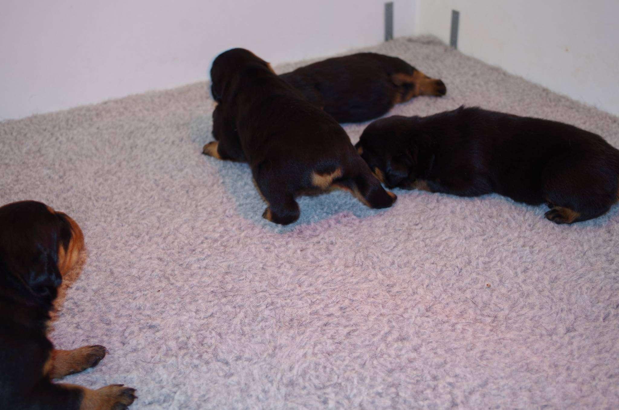 Ostenberg Rottweilers_Rambo_x_Lulie(20)