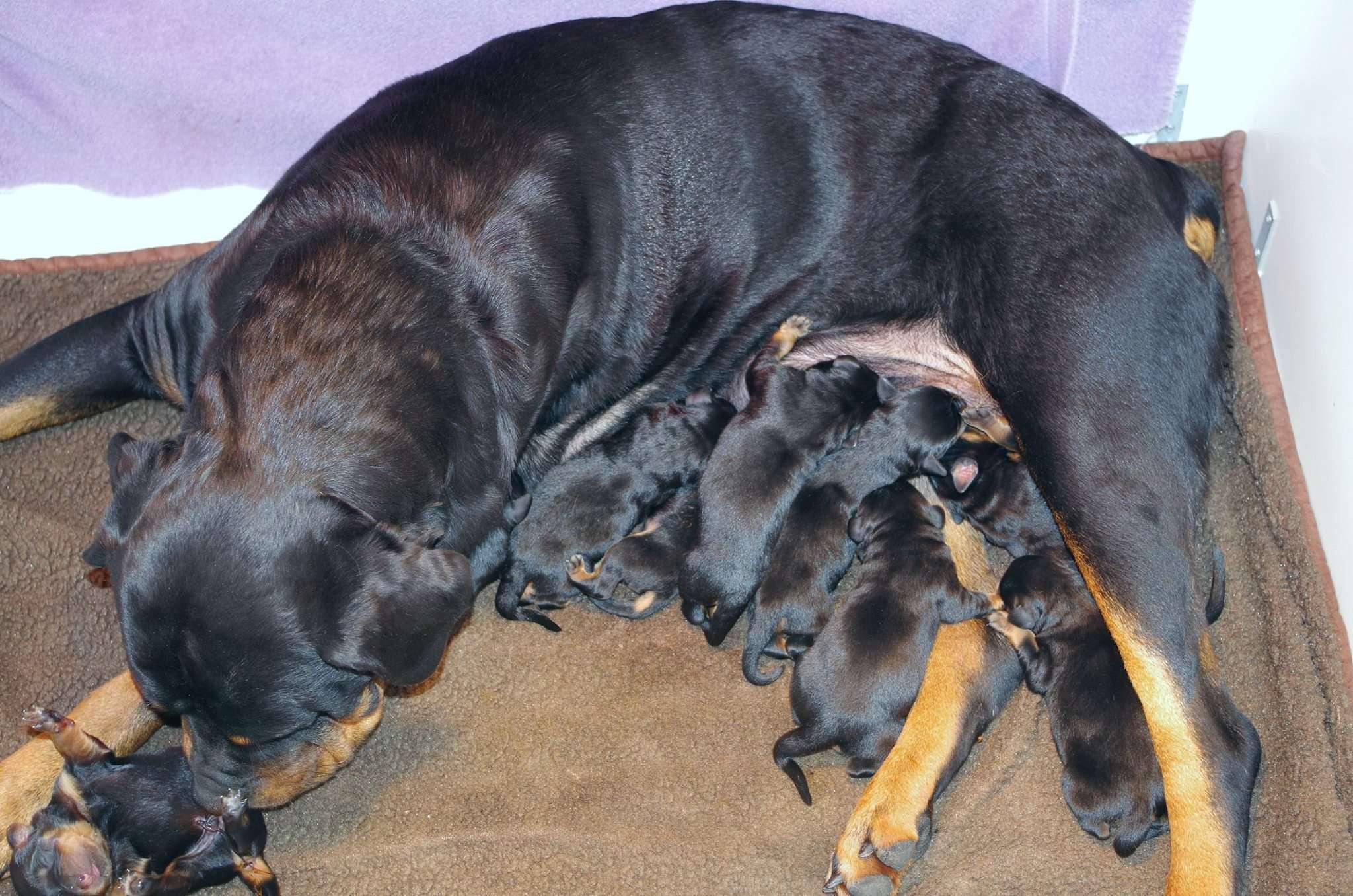 Ostenberg Rottweilers_Rambo_x_Lulie(3)