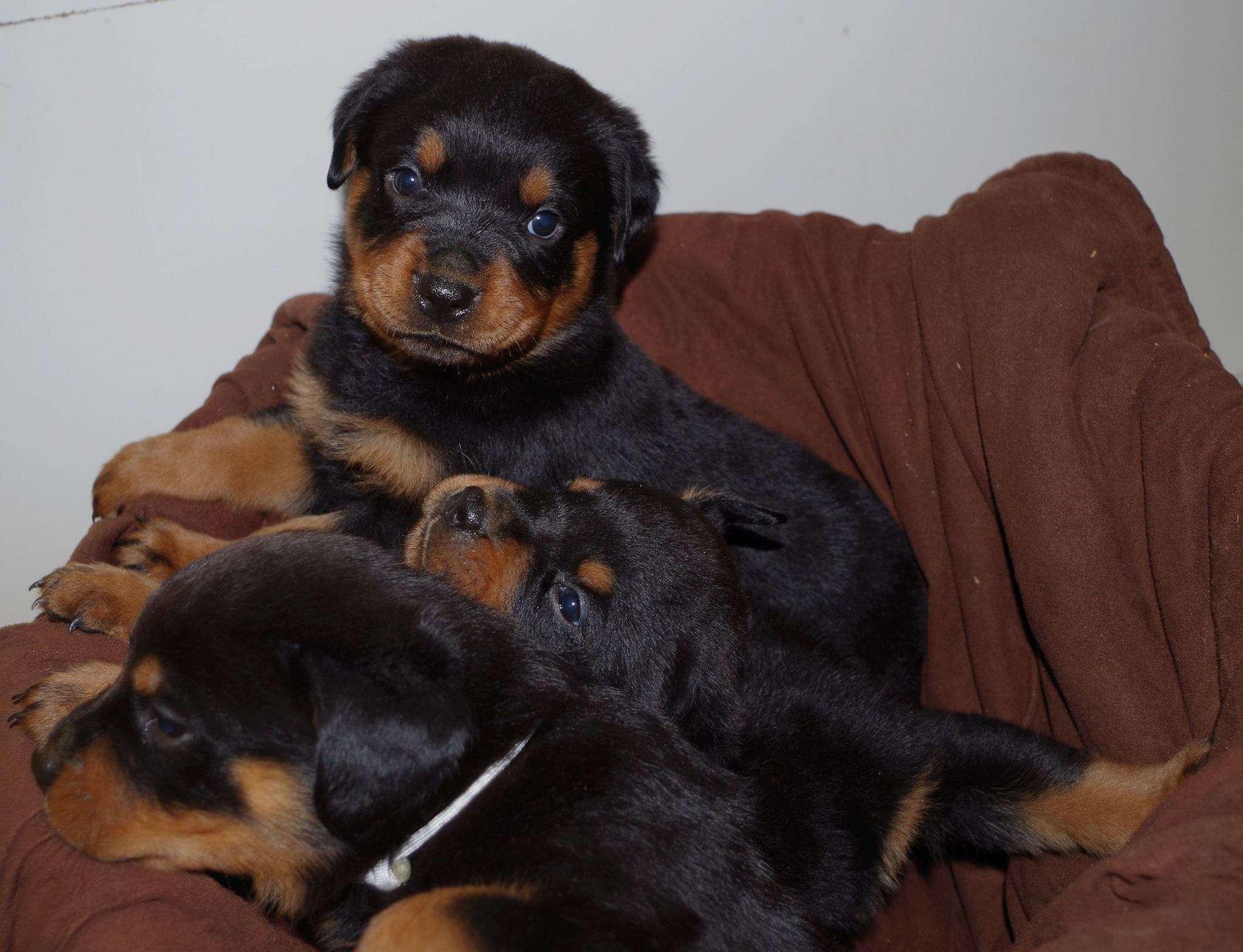 Ostenberg Rottweilers_Rambo_x_Lulie(51)