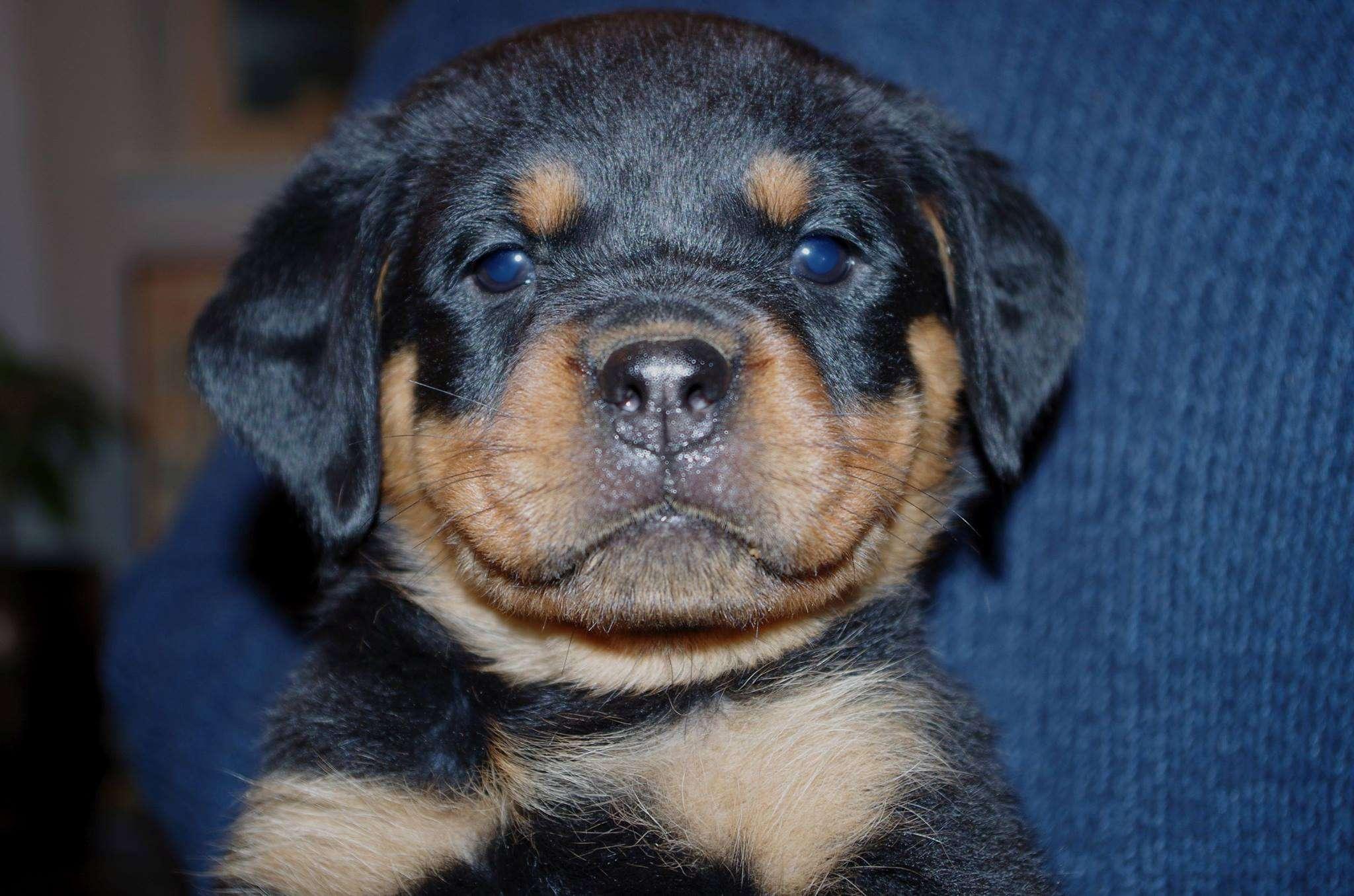 Ostenberg Rottweilers_Rambo_x_Lulie(61)