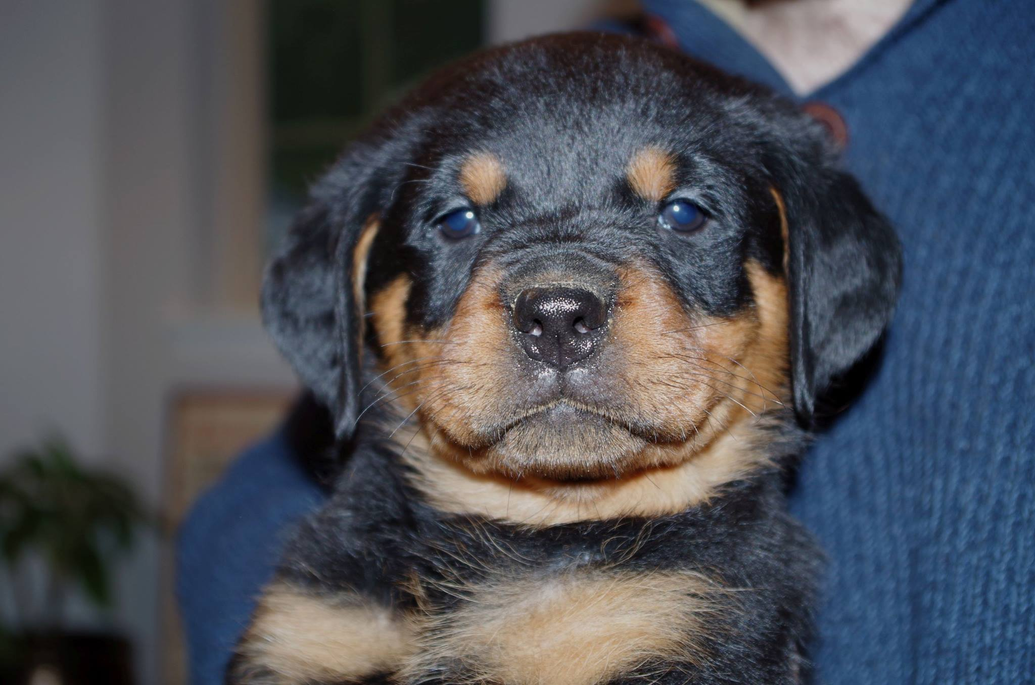 Ostenberg Rottweilers_Rambo_x_Lulie(64)