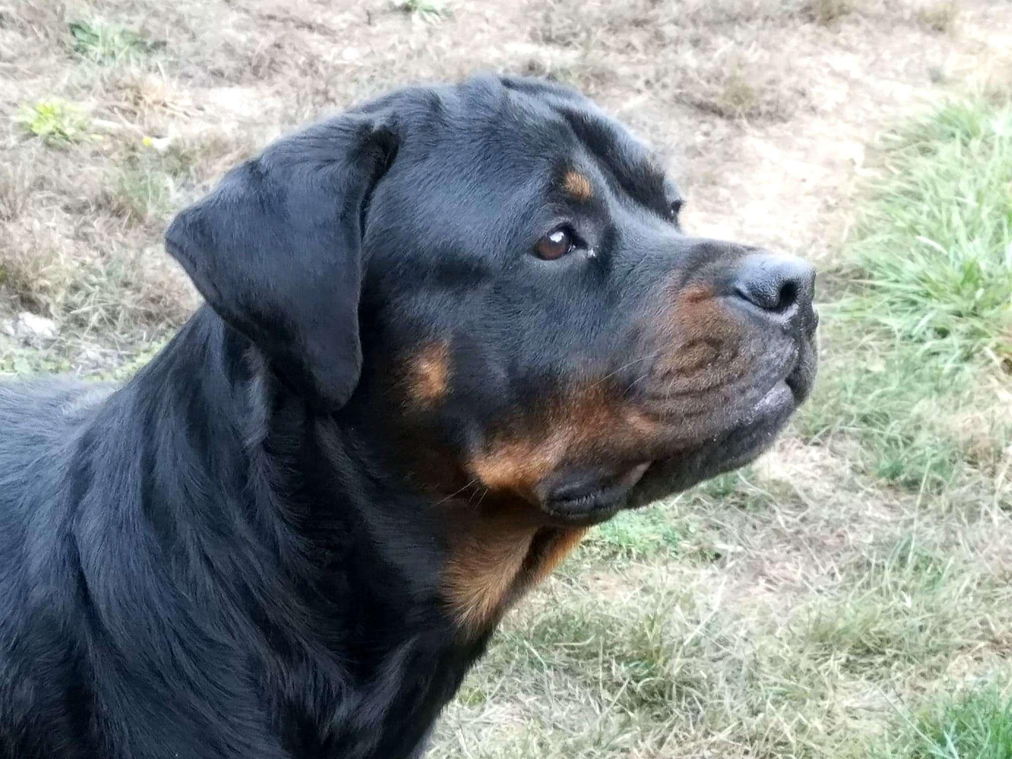 Ostenberg Rottweilers_Rambo_x_Lulie(73)