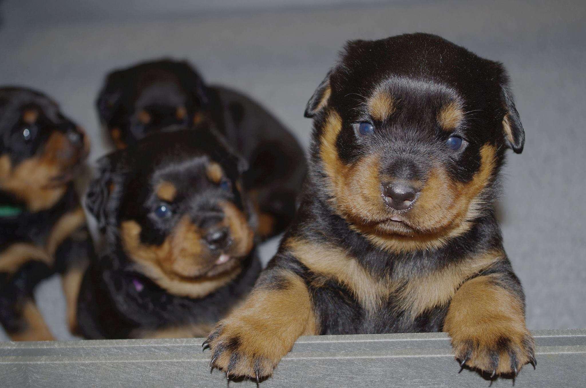 Ostenberg Rottweilers_Rambo_x_Unica(36)