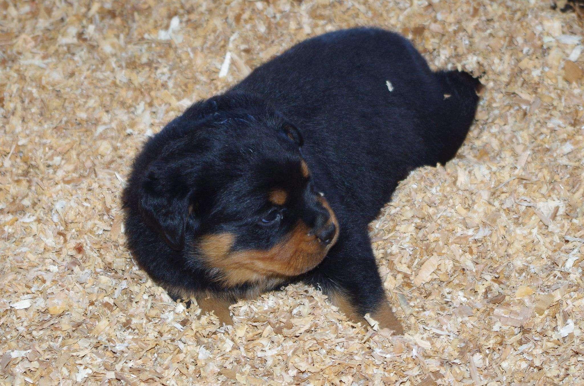 Ostenberg Rottweilers_Rambo_x_Unica(52)