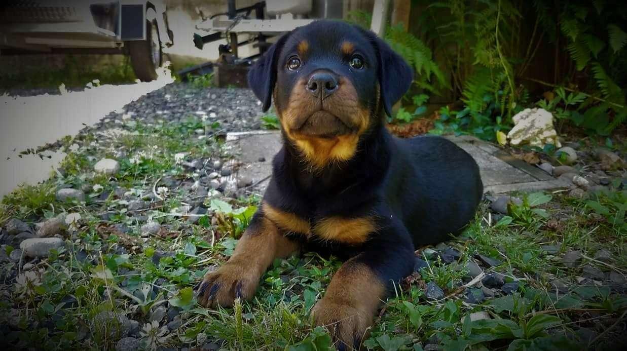 Ostenberg Rottweilers_Toscano_x_Alica(104)