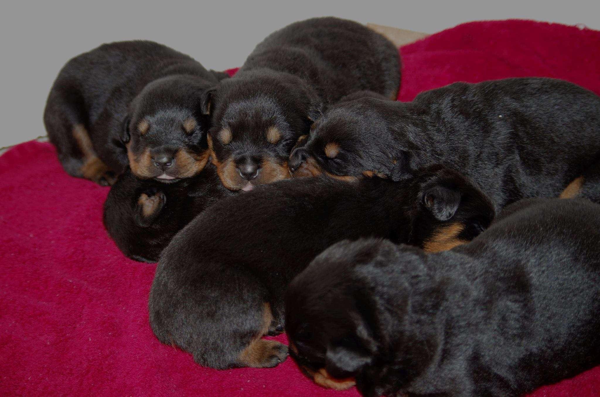 Ostenberg Rottweilers_Toscano_x_Alica(37)