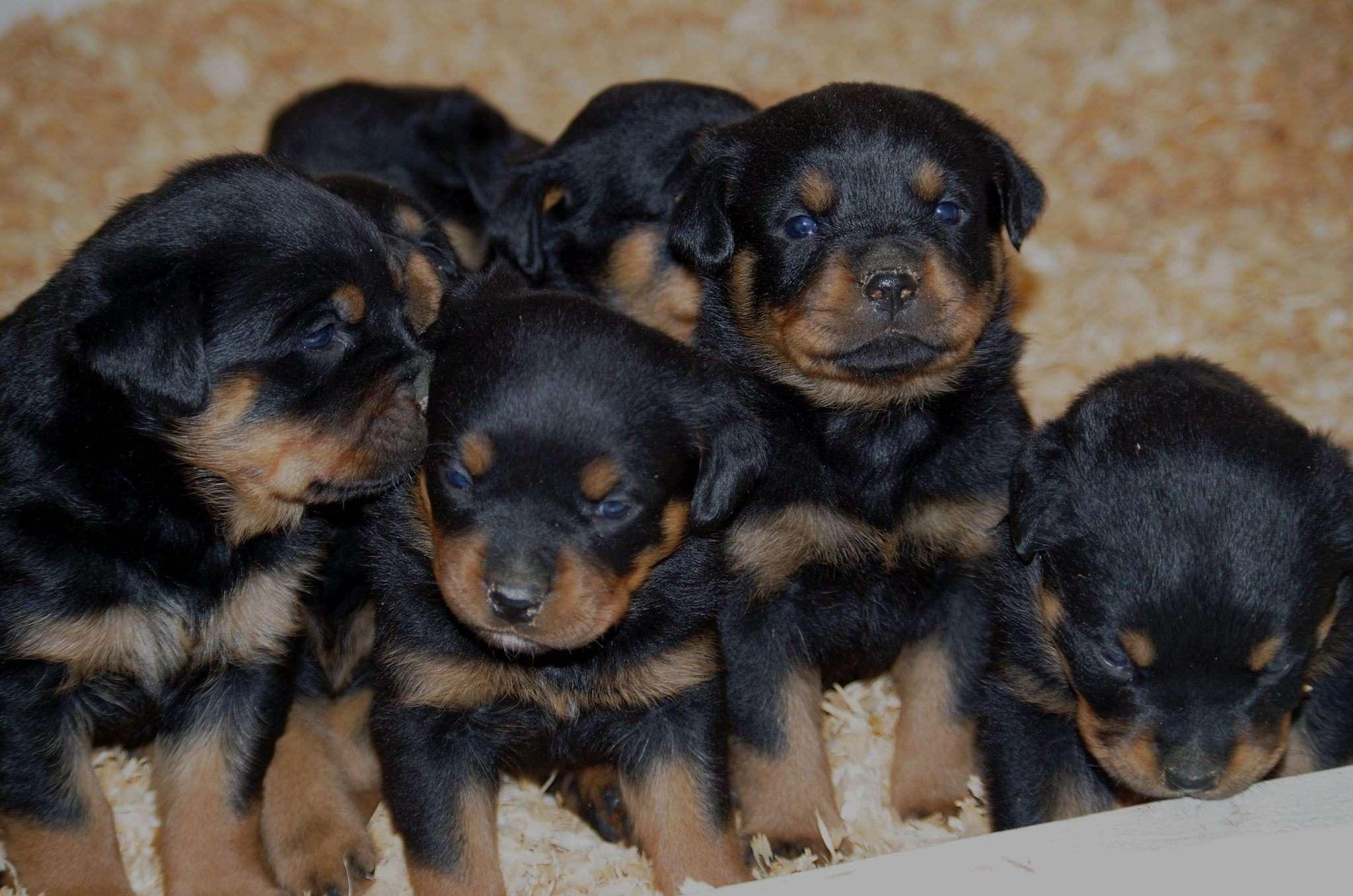 Ostenberg Rottweilers_Toscano_x_Alica(82)