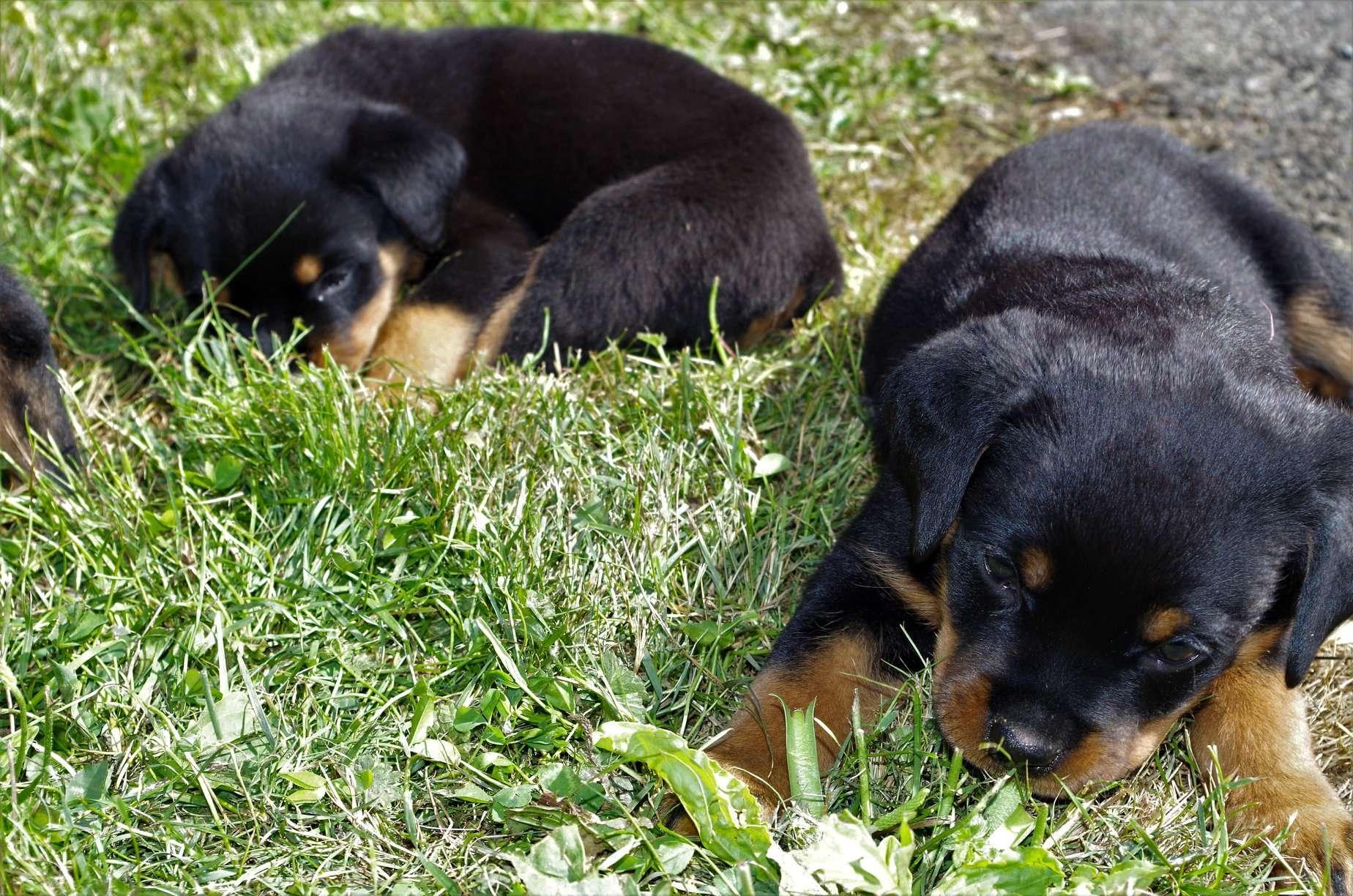 Ostenberg Rottweilers__Toscano_x_Alica(107)