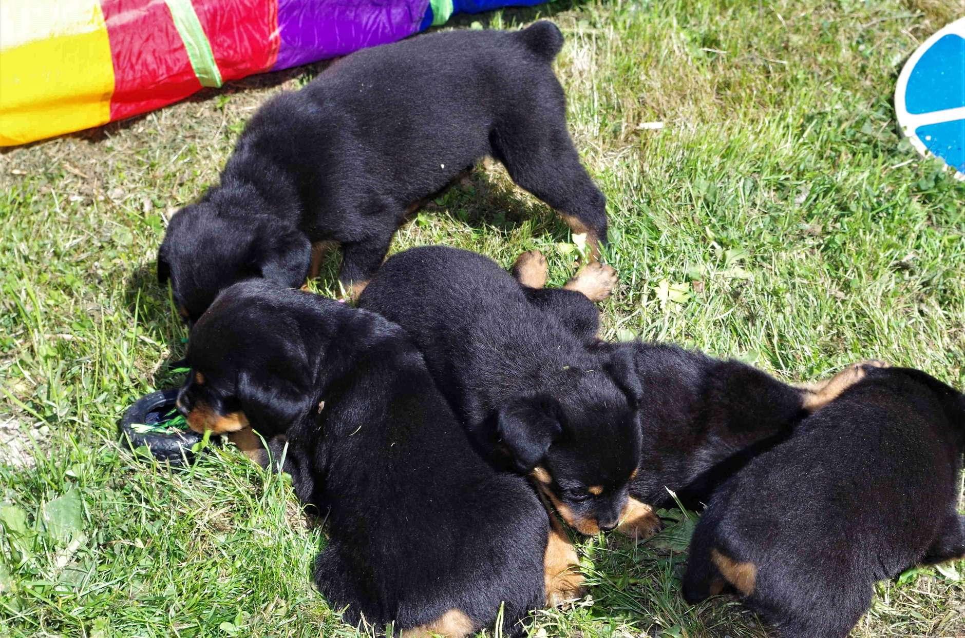 Ostenberg Rottweilers__Toscano_x_Alica(112)
