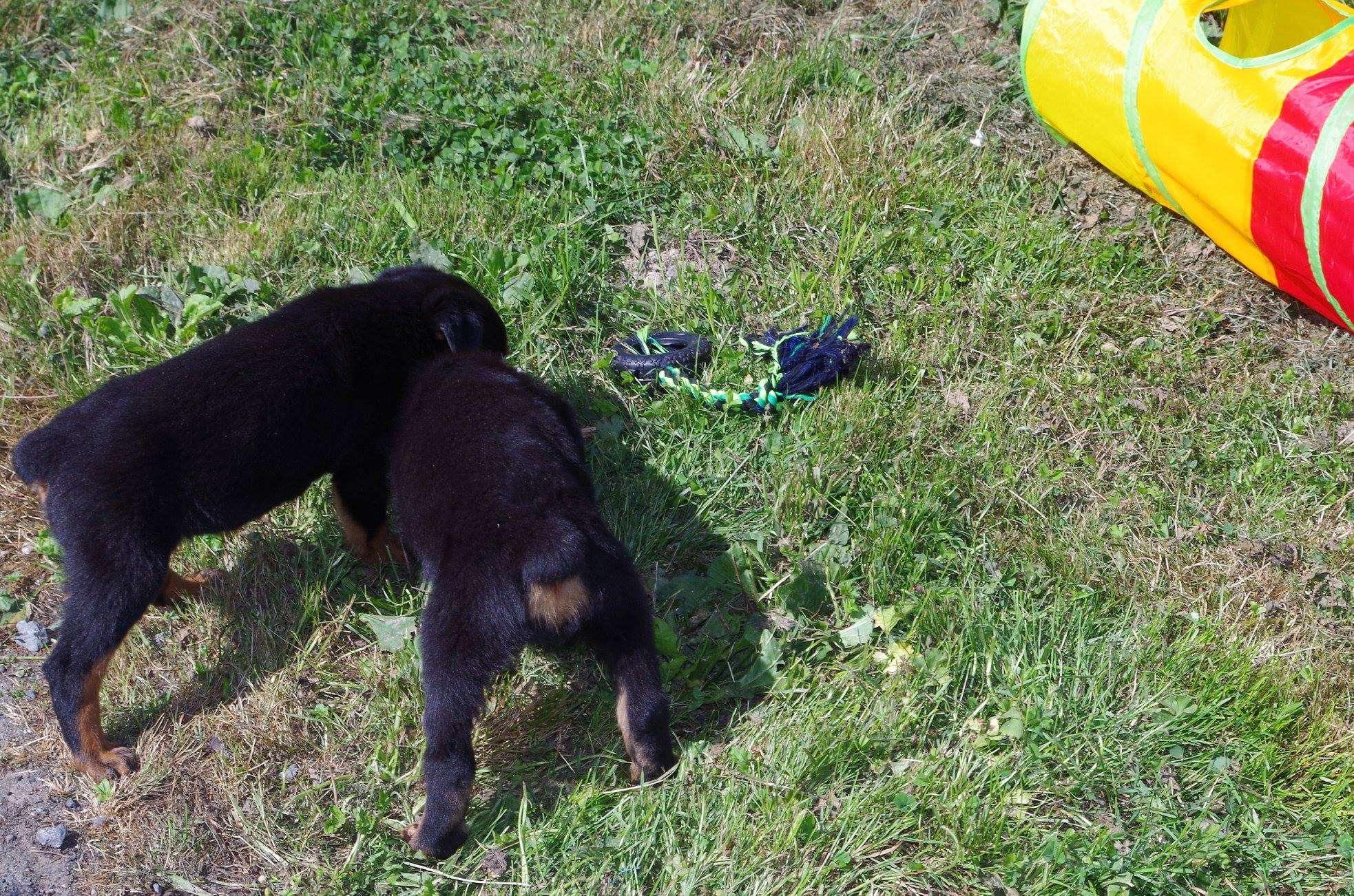 Ostenberg Rottweilers__Toscano_x_Alica(119)