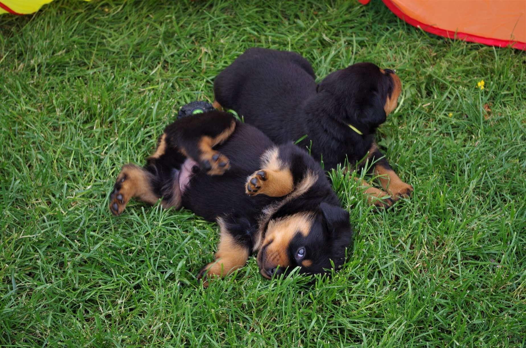 Ostenberg Rottweilers_Goose_x_Alica(153)