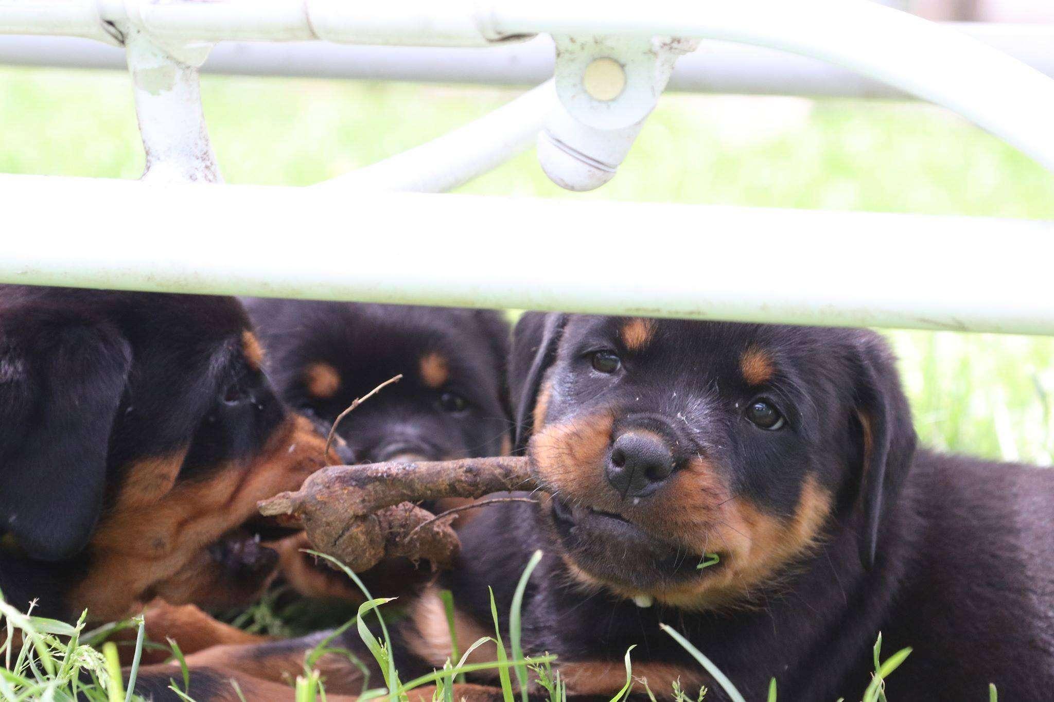 Ostenberg Rottweilers_Goose_x_Alica(227)