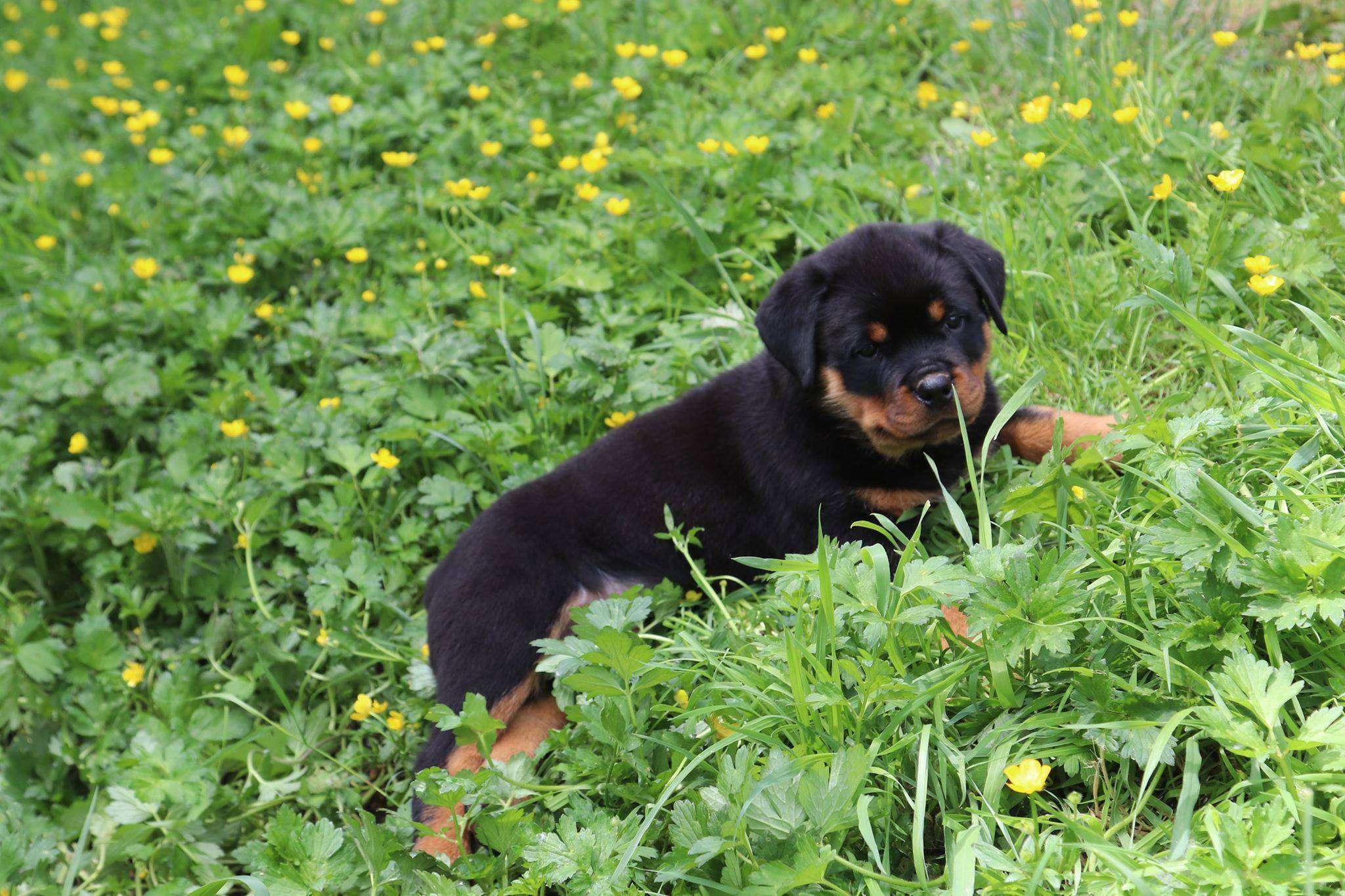 Ostenberg Rottweilers_Goose_x_Alica(228)