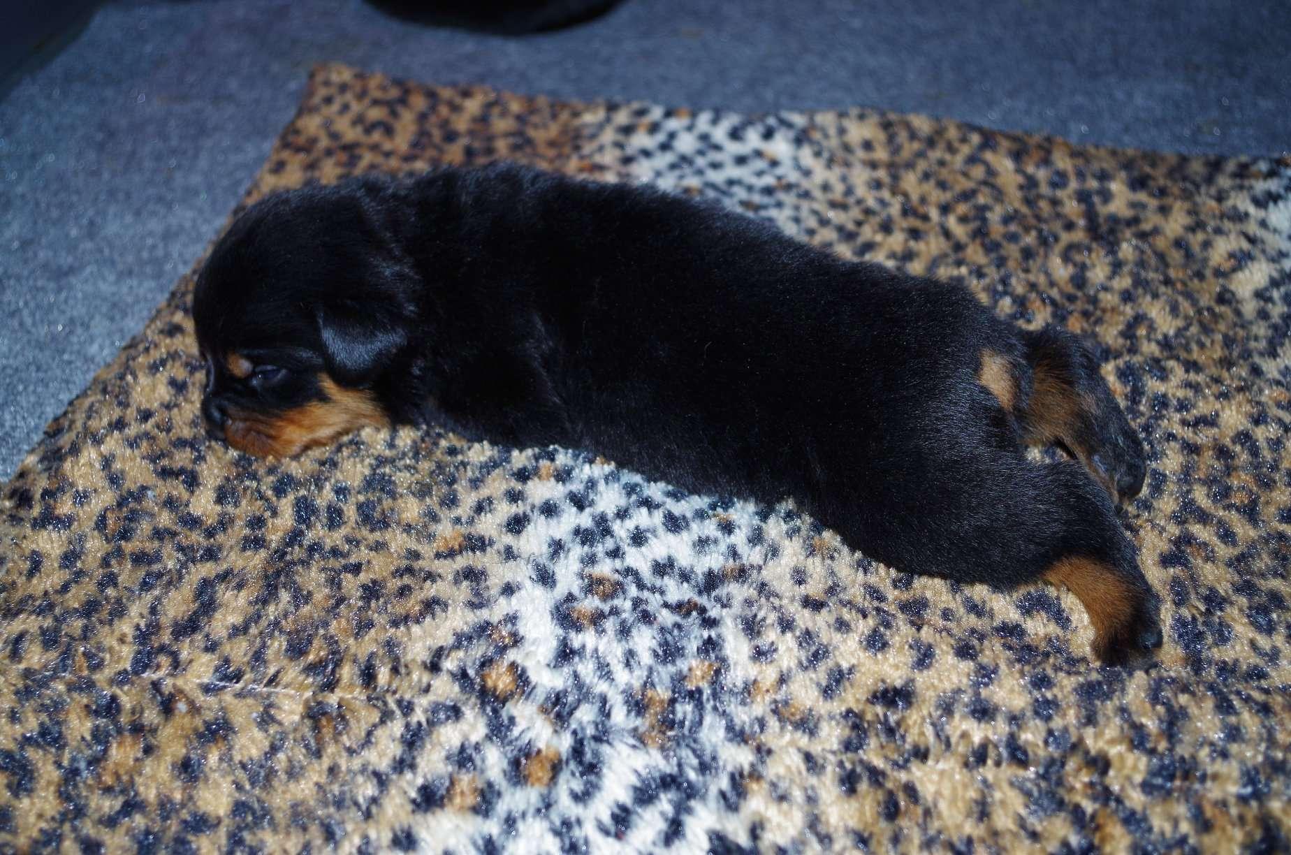 Ostenberg Rottweilers_Goose_x_Alica(52)