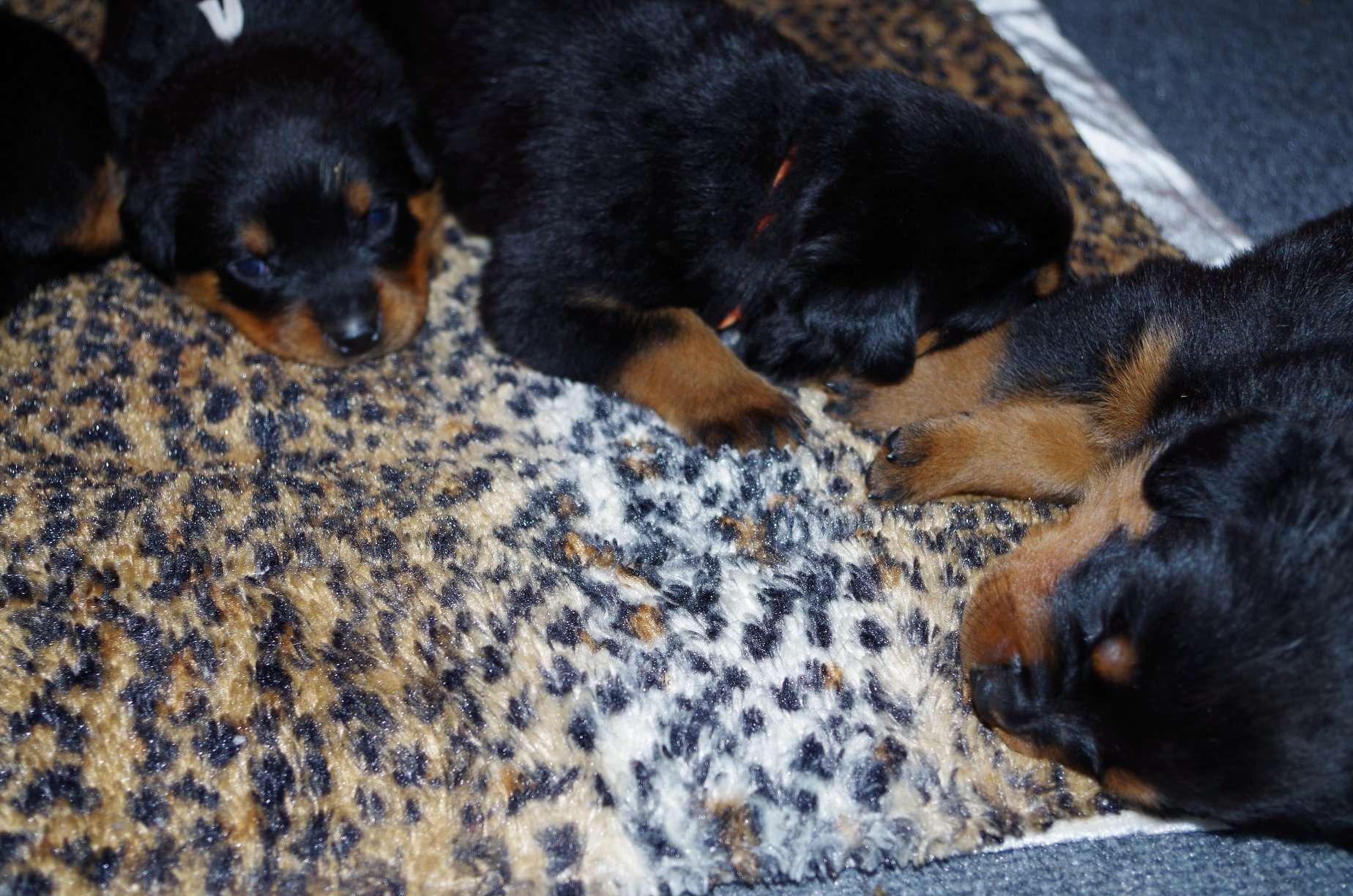 Ostenberg Rottweilers_Goose_x_Alica(54)